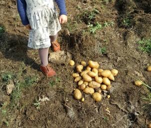 permaculture enfant patates carton