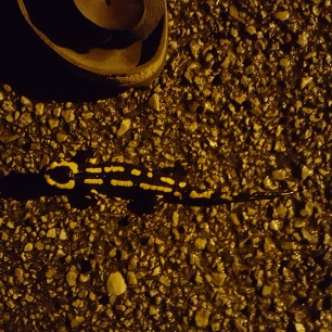 permaculture enfants ados salamandre nuit