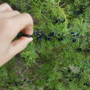 permaculture enfants cueillette juniperus