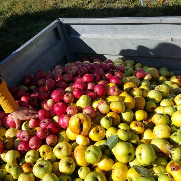 permaculture enfants pommes